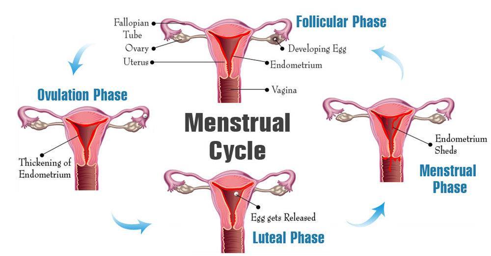 Tento obrázok nemá vyplnený ALT popisok, jeho názov je menstrual-cycle-phases_1024x1024.jpg